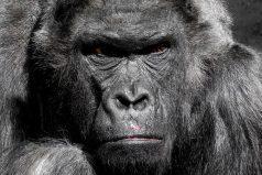 gorilla - dierendag - schrijftip - metafoor
